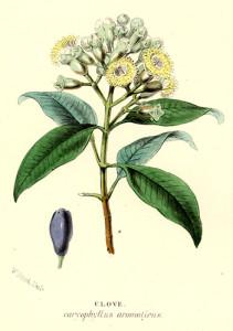 spice-plant-clove