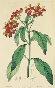 milkweed5